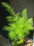 Asparagus_ramosus_shatavari