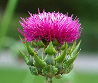 Buy Milk Thistle standardised extract loose powder or capsules @ Herbosophy