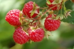 Red Raspberries and Leaf
