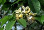 Crataeva Flower