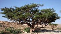 boswellia-serrata-tree