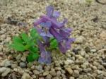 Corydalis ambigua flower