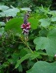 pueraria_lobata_plant