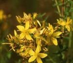 Hypericum perforatum Flower