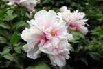 Paeonia lactiflora Flower