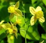 Epimedium flower
